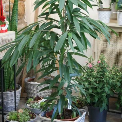 Ficus grandes feuilles