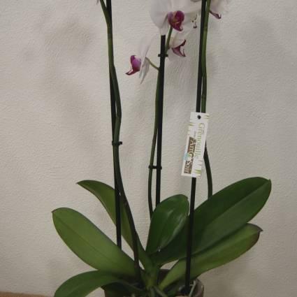 Phalaenopsis 3 branches